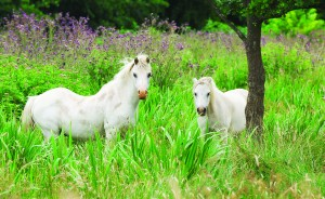 Wild Ponies on the Norfolk Broads