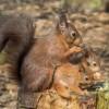Pensthorpe Red Squirrels